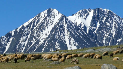 flock of sheep and dog on mountain pasture Footage