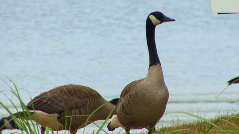 Geese and grass Footage