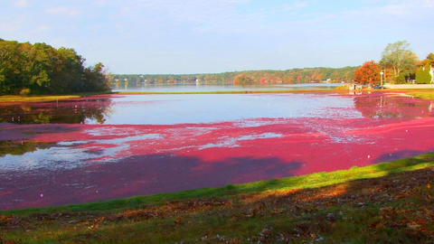 Red Floating Cranberries stock footage