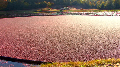 Glistening Cranberries; Pan LR stock footage