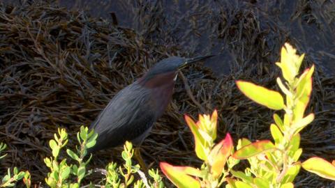 Sea Bird on Sea Weed Footage