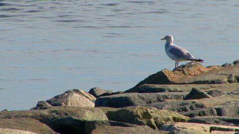 Seagull on Jetty Footage