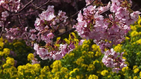 close up cherry tree and canola flower Footage