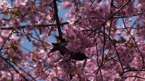 Bird peck at cherry blossom Live Action