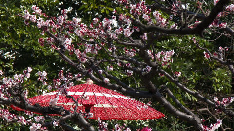 Japanese plum blossom and Japanese umbrella Footage