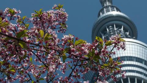 Close up Tokyo sky tree and Cherry Tree Footage