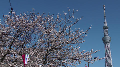 Close up Tokyo sky tree and Cherry Tree Footage