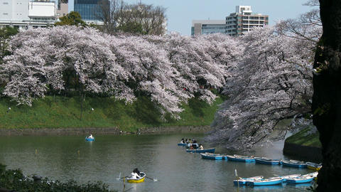 Cherry blossoms in the wind at Chidorigafuchi park in Tokyo, Japan Footage