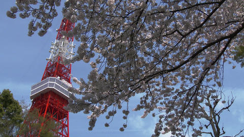 Cherry blossoms in the wind at Tokyo tower in Tokyo, Japan Footage