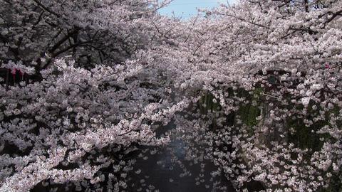Hanami cherry blossom viewing at Meguro River, Tokyo, Japan Footage