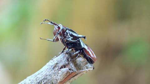 Fighting Of Male Rhinoceros Beetle stock footage