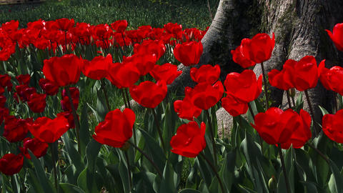 RED Tulips swaying in the wind Footage