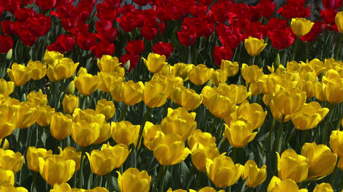 Yellow and red Tulips swaying in the wind Footage