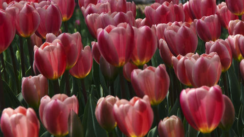 Close up Tulips swaying in the wind Footage
