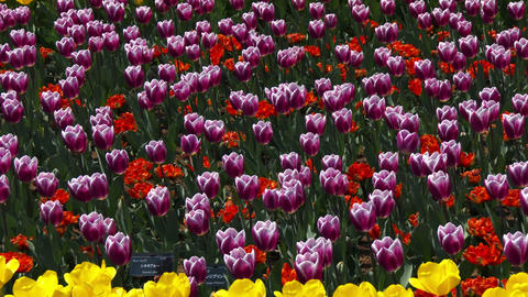 Tulips swaying in the wind Stock Video Footage