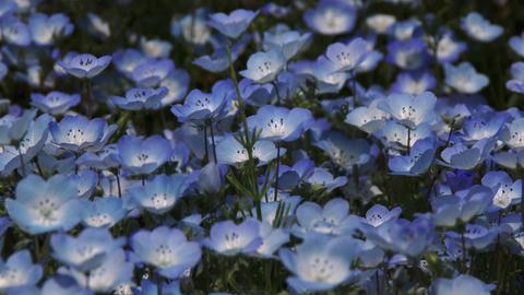 Close up Nemophila flower garden field Footage