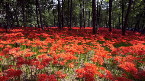 Red Spider Lily Garden stock footage
