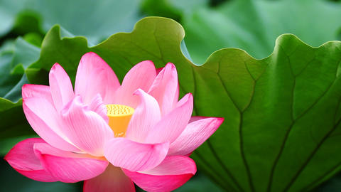 Close up Lotus flower in tokyo shinobazu pond Footage