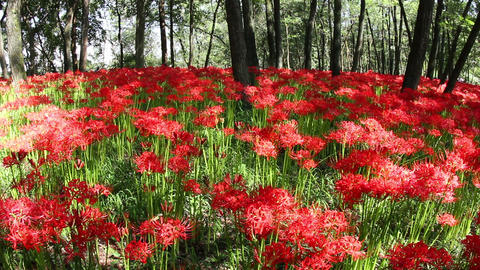 Cluster amaryllis in saitama,japan Footage