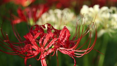 Close up Cluster amaryllis in saitama,japan Footage