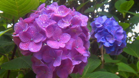 Overlapping bright blue hydrangea flowers that each swaying at rainy Live Action