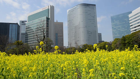 Canola Field and buildings Tokyo,Japan Footage