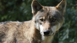 4K, Close Up Of A Wolf's Face stock footage