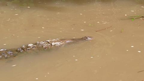 American Crocodile Animal Reptile Swimming In Costa Rica River Water Footage