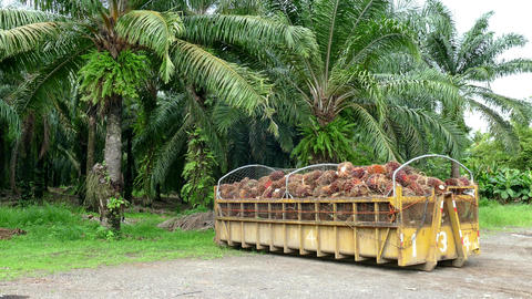 Palm Trees Palms Plantation For Production Of Oil Costa Rica Footage