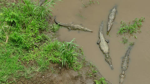 River Waters Infested With Crocodiles Animals Reptiles In Costa Rica Live Action