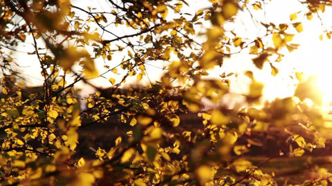 Leaves in the evening sun Footage