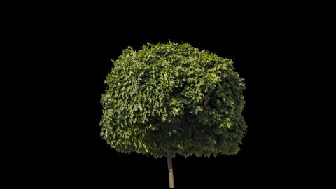 Real Tree Isolated On The Wind 8 stock footage
