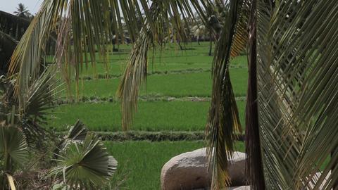 Rice field in Hampi, Karnataka, India Footage