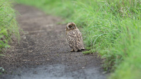 Short eared Owl 7 Footage