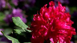 blooming red flower - park Footage