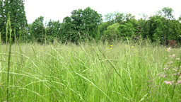 Park - Meadow (tall Grass) With Forest In Background stock footage