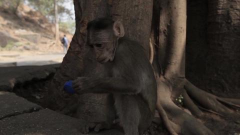 Indians animals – monkey on the ground Footage