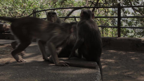 Indians animals – monkey on the ground Footage