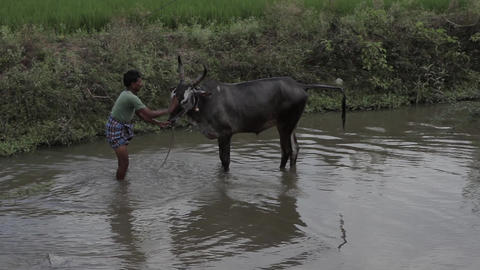 Indians animals – Wash the cow Footage