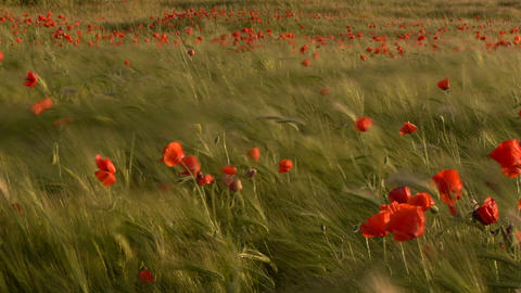 poppies among green wheat Footage