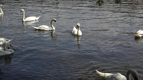 White Swans Are Swimming In The Water. 4K stock footage