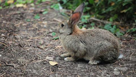 Big Grey Rabbit sniffs the ground 1 Footage