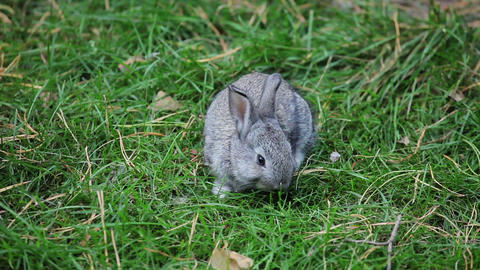 Little Grey Rabbit Sniffs And Eats Grass stock footage