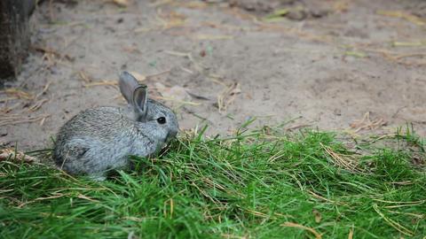 Little Grey Rabbit sniffs and eats grass Footage