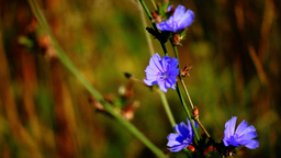 Closeup of blue cornflowers Footage