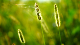 Wild grasses ,fluffy weeds in a meadow, in sun, with wind and spider Footage
