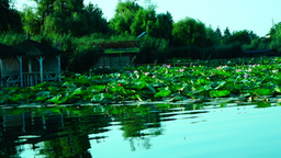 Lacustrine Landscape With Lotus Leaves hypnotic waves Footage