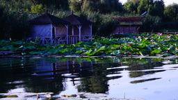 Serene Lacustrine Landscape With Lotus Leaves and waves Footage