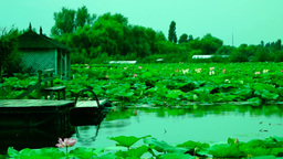 Lotus flowers (Nelumbo nucifera) moving by waves and wind Footage