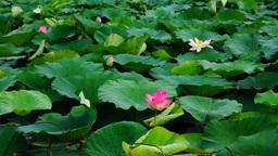 Lotus flowers (Nelumbo nucifera) moving by wind Footage
